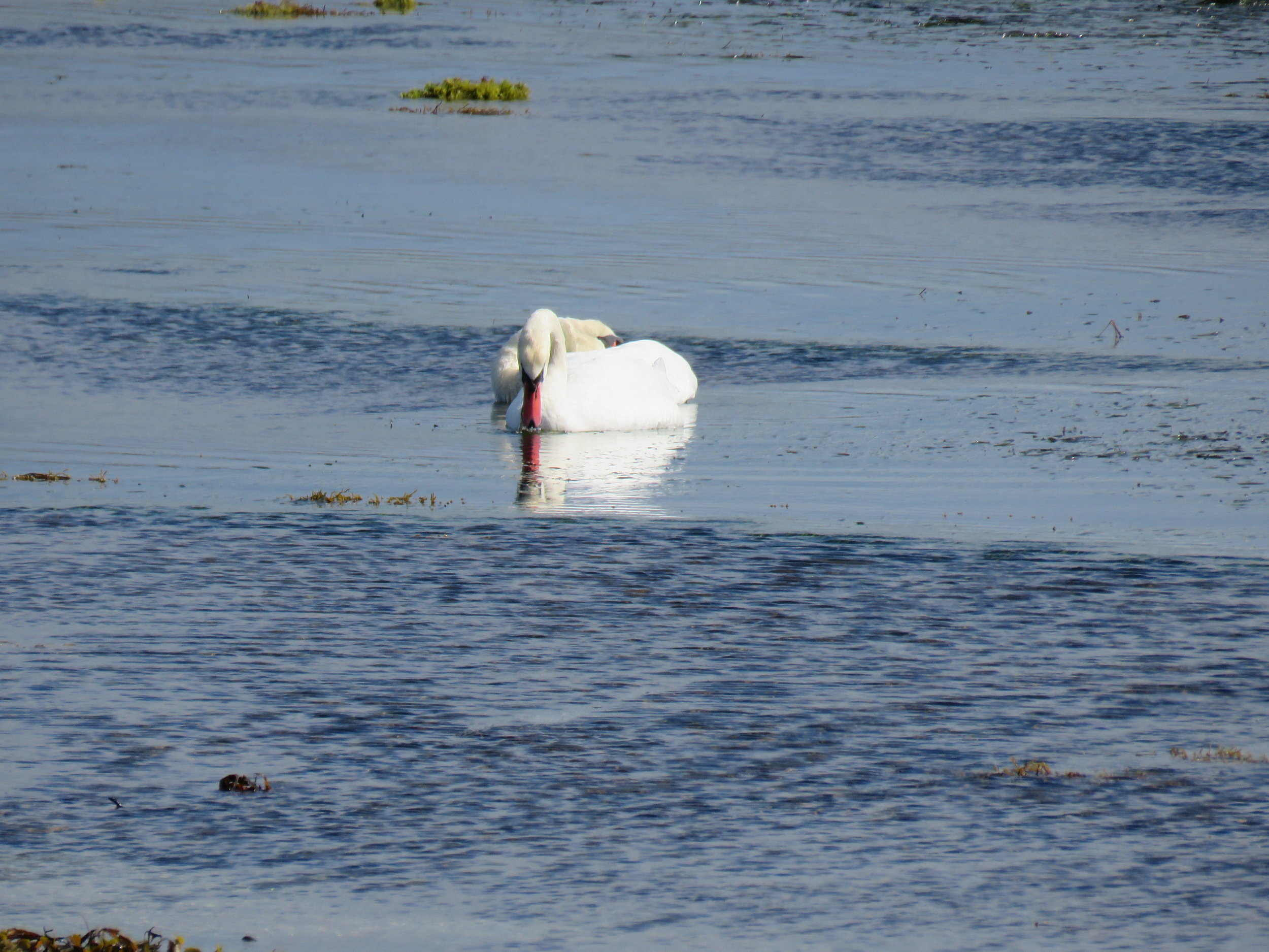 Swans. In the sea. | Credit: Alex Bateman