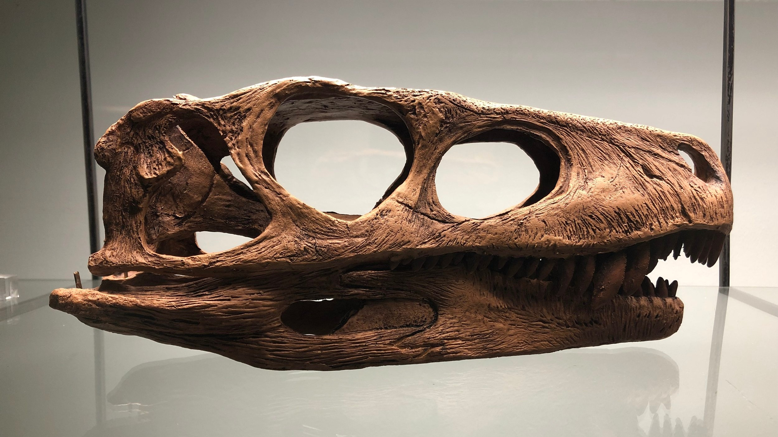 Replica of the fossilised cranium of a  Herrerasaurus ischigualastensis  | Credit: Talita Bateman