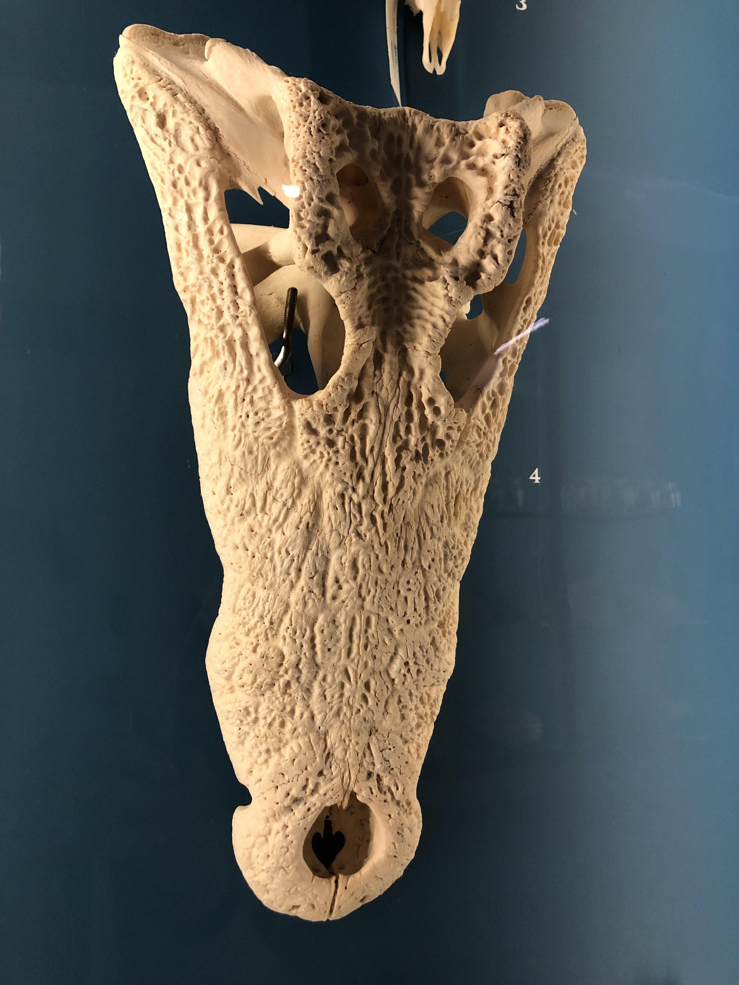 Nile Crocodile skull  (Crocodylus niloticus ) | Credit: Talita Bateman