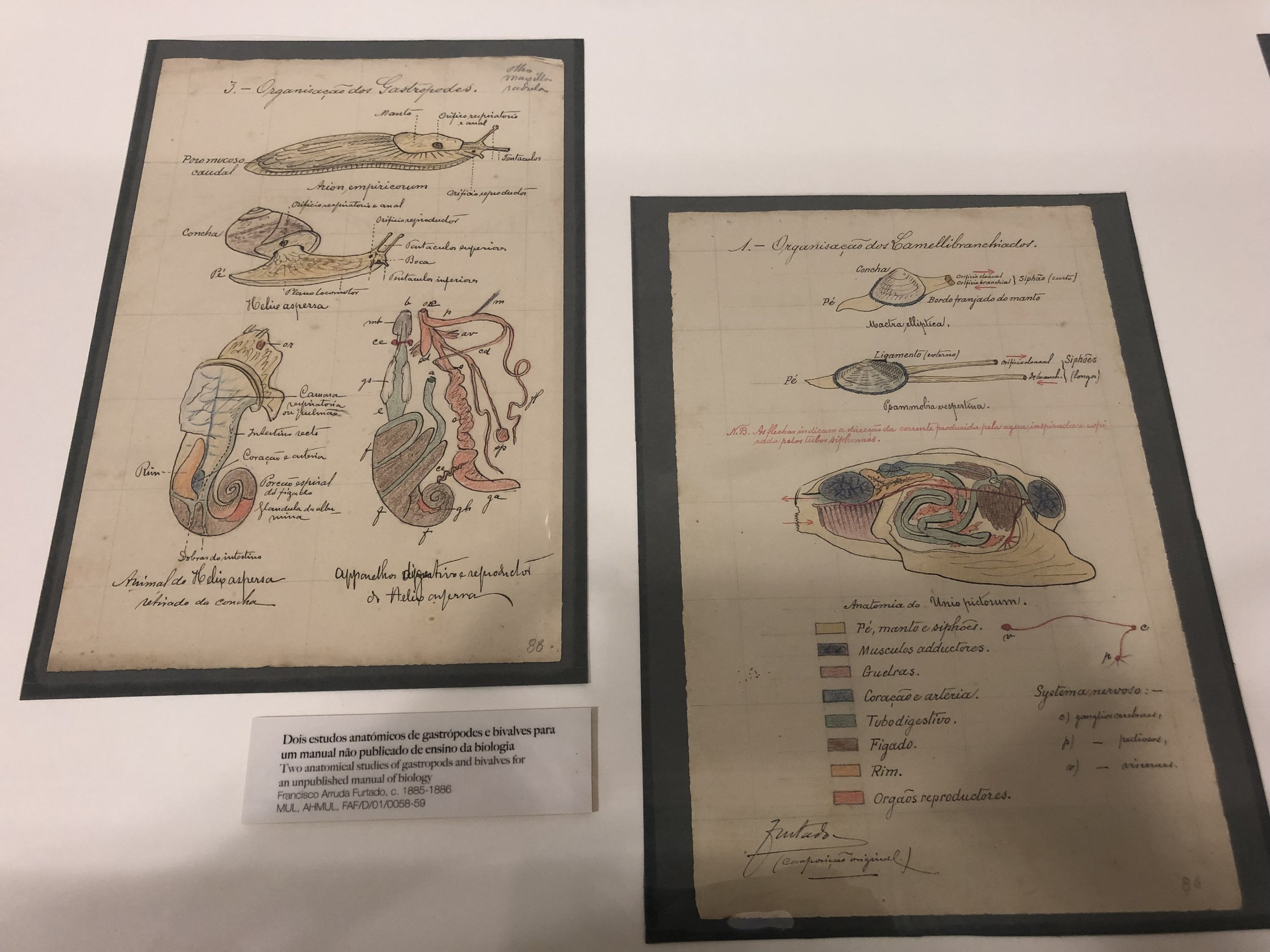 Two anatomical studies of gastropods and bivalves for an unpublished manual in biology from c. 1885-1886 | Credit: Talita Bateman