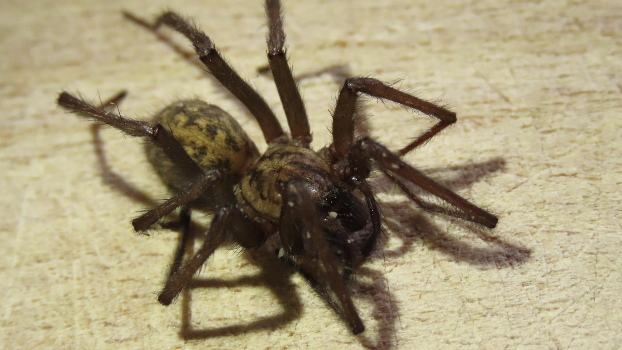 House Spider ( Tegenaria gigantea)    Credit: Talita Bateman