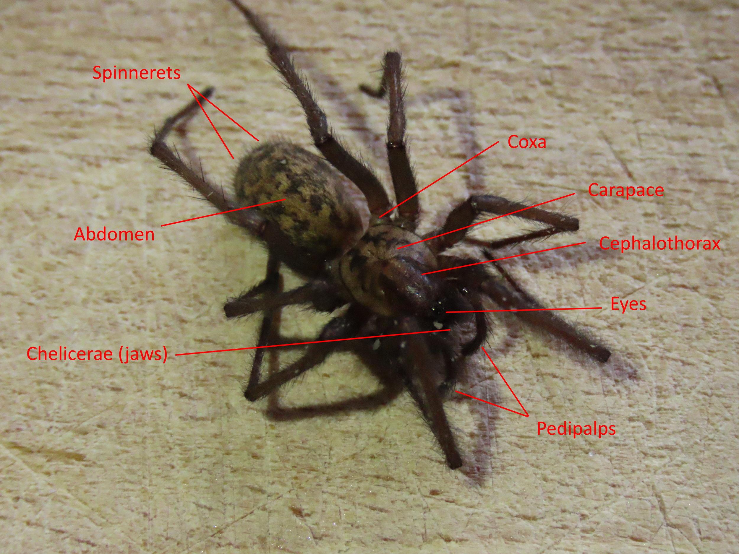 Figure 1 - Spider Anatomy: Dorsal view of a  Tegenaria gigantea    Credit: Talita Bateman