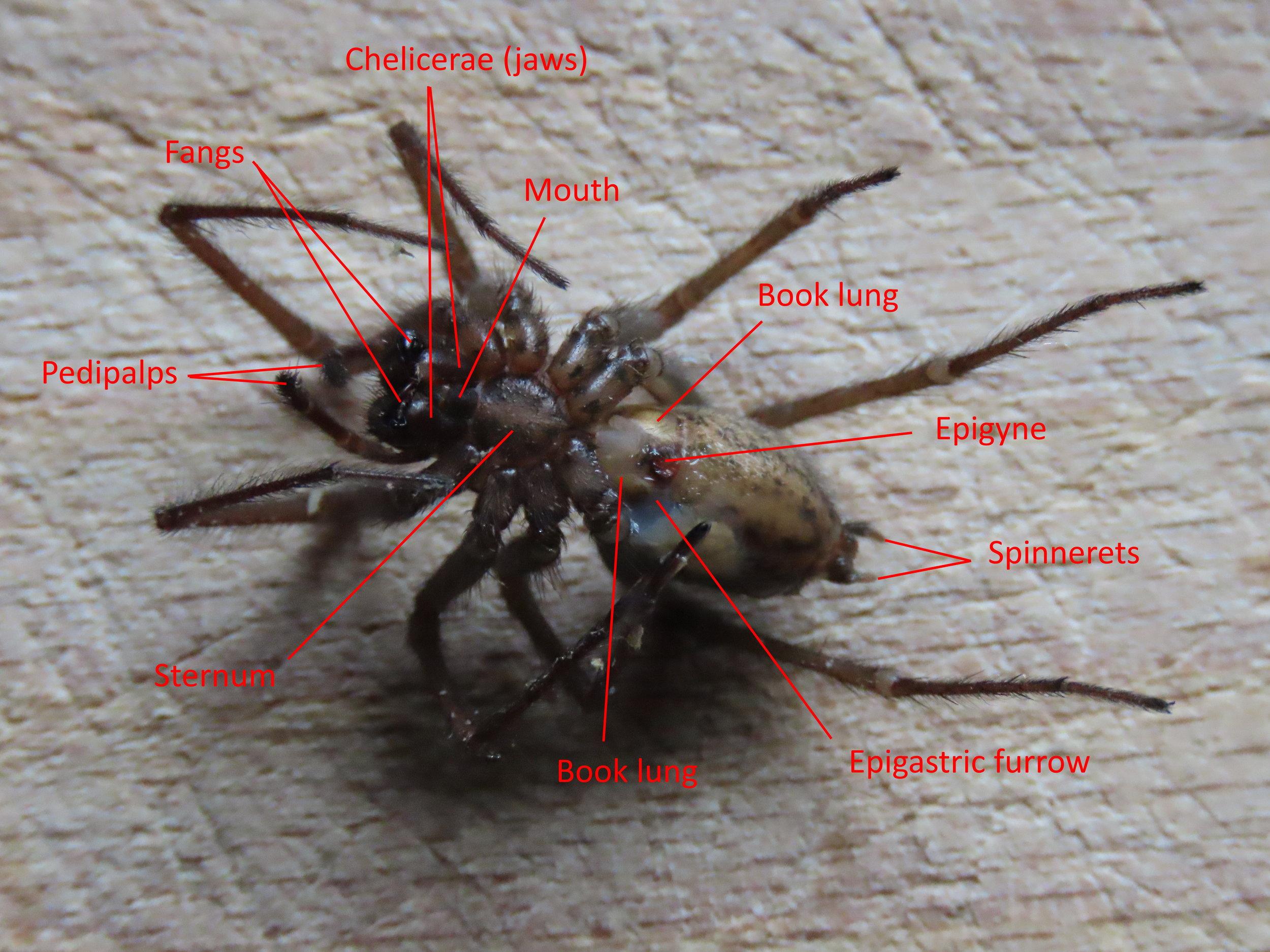 Figure 2 - Spider Anatomy: Venral view of  Tegenaria gigantea    Credit: Talita Bateman