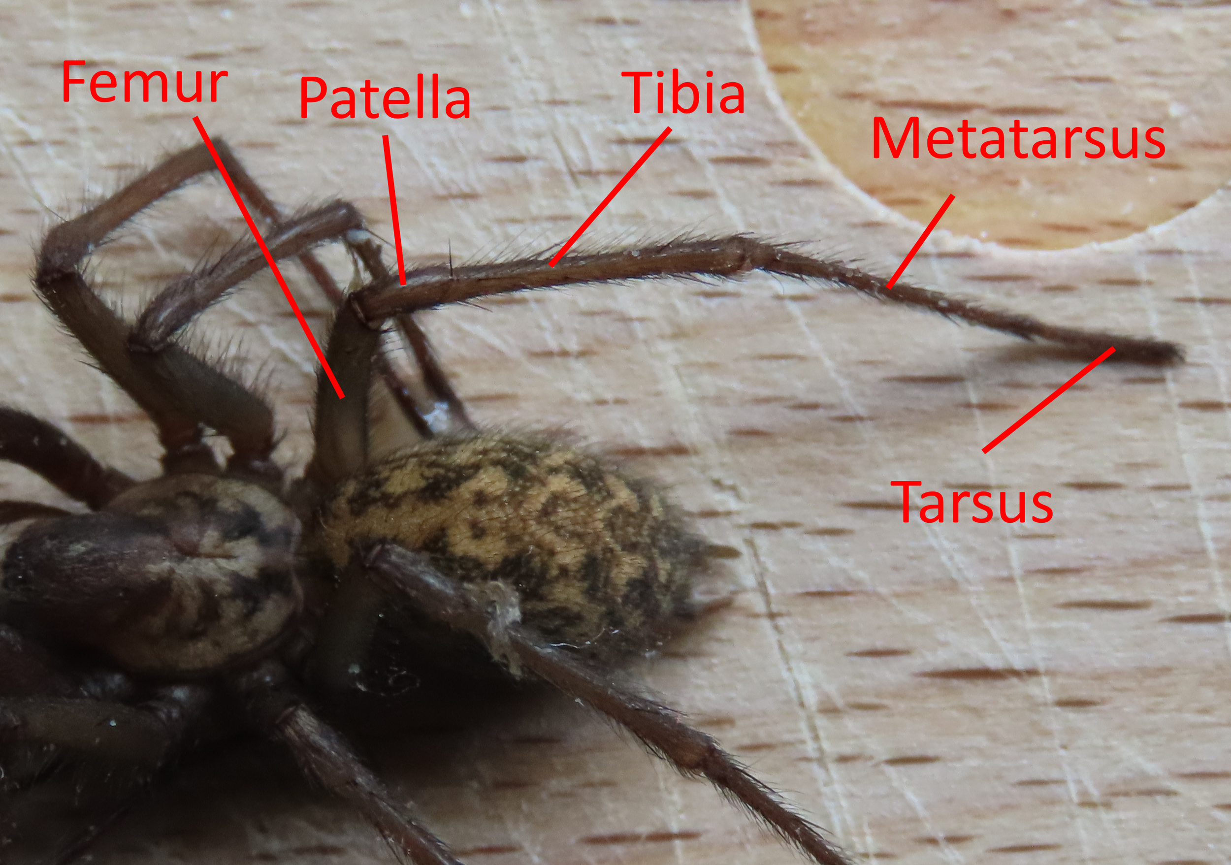 Figure 6 - Spider Anatomy: Close-up of legs of a  Tegenaria gigantea  spider from a dorsal view | Credit: Talita Bateman