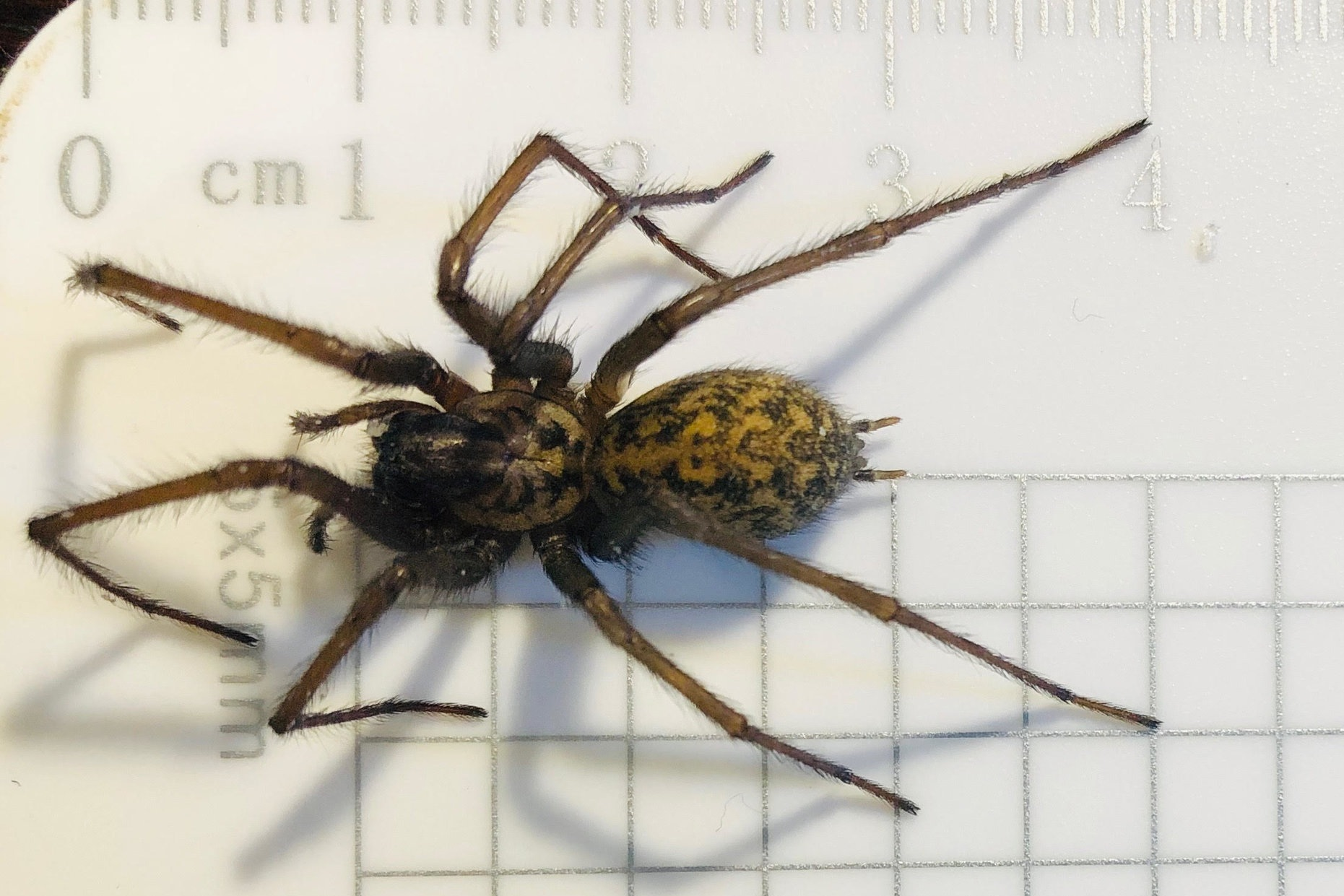 Deceased House Spider ( Tegenaria gigantea ) measurements | Credit: Talita Bateman