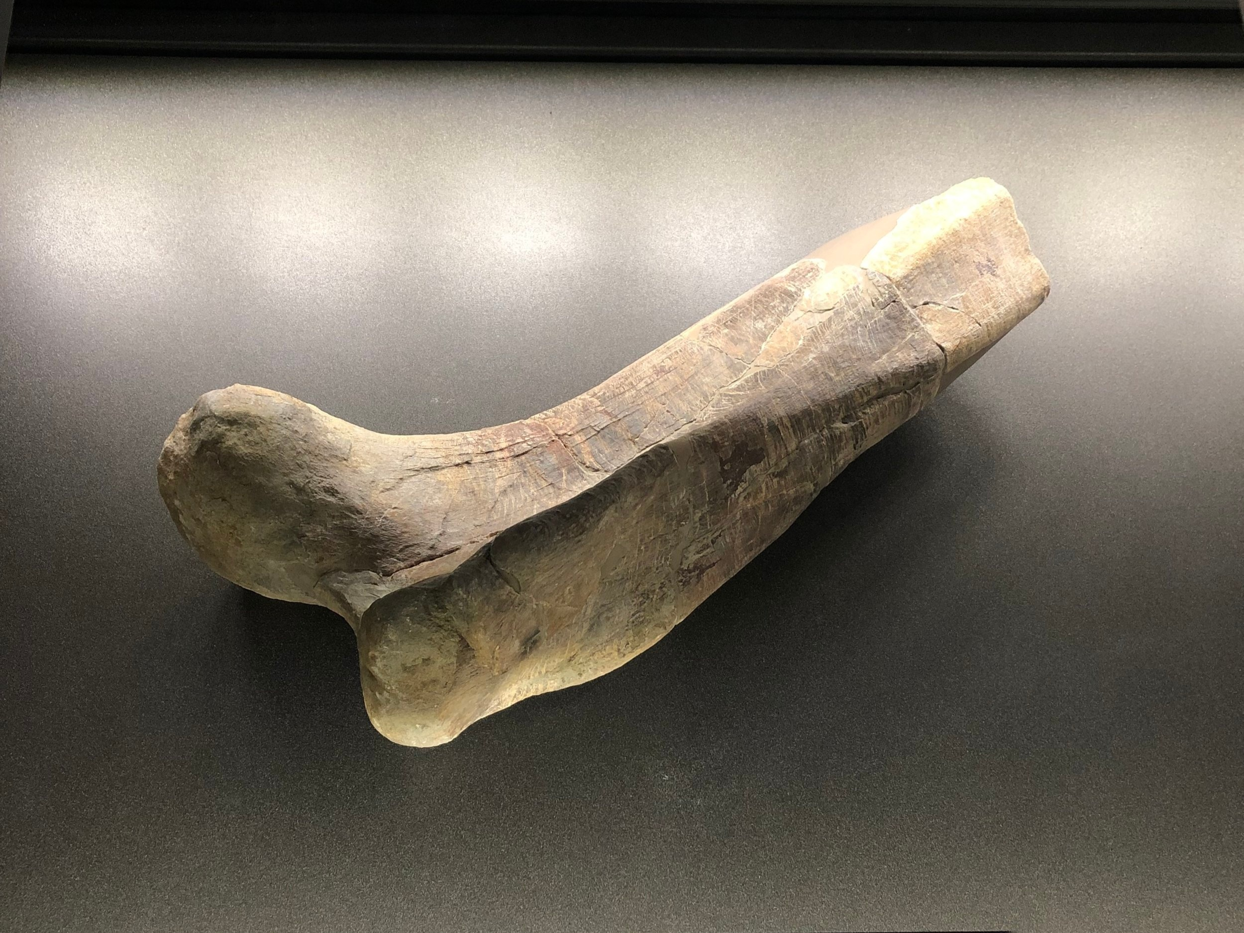 Right femur of a hadrosauroid from the Conca Dellà Museum | Credit: Talita Bateman