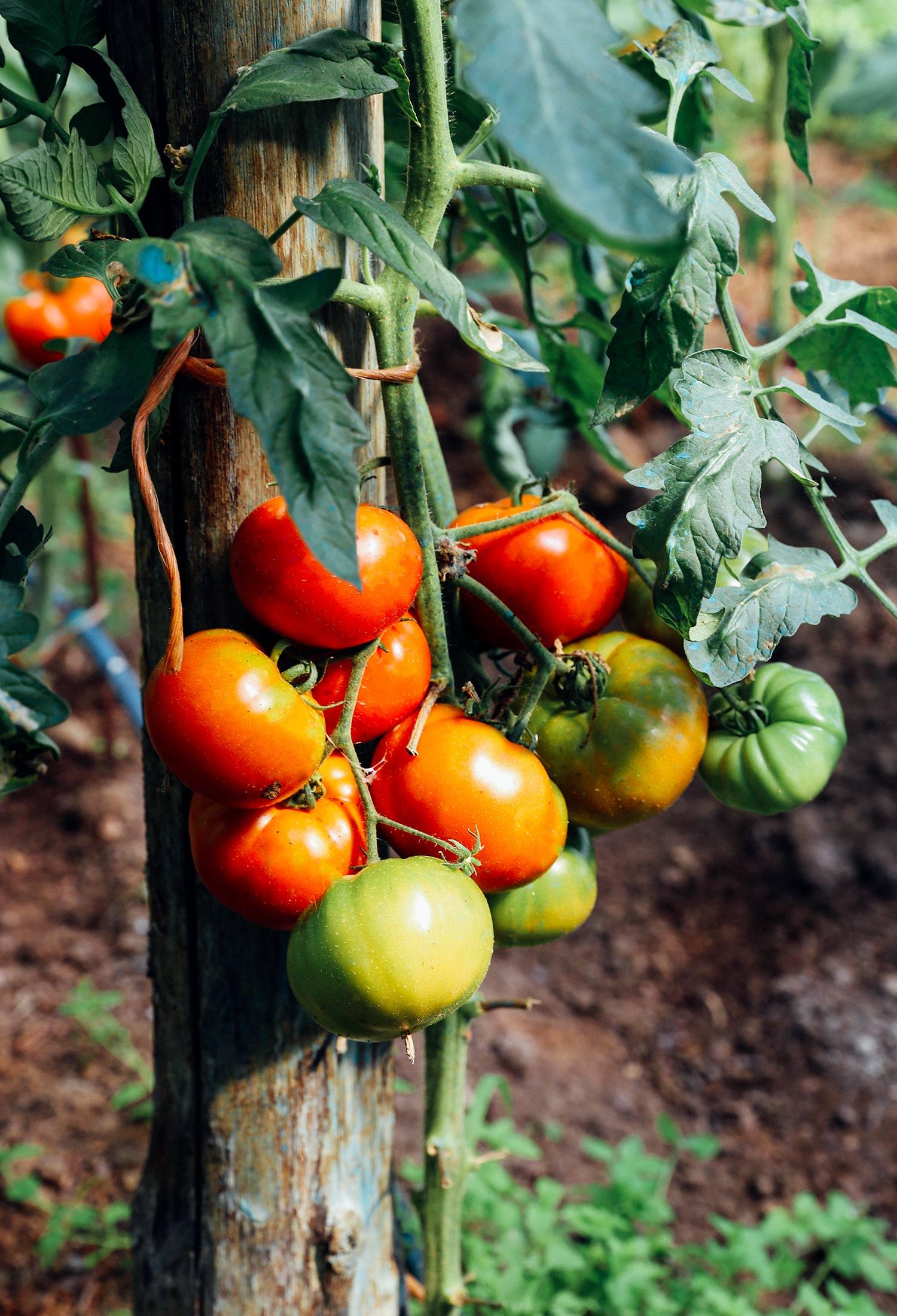 Tomato sauce | Monica R. Goya