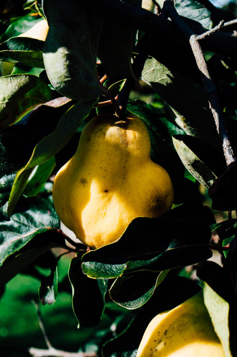 membrillo en el árbol - Monica R Goya