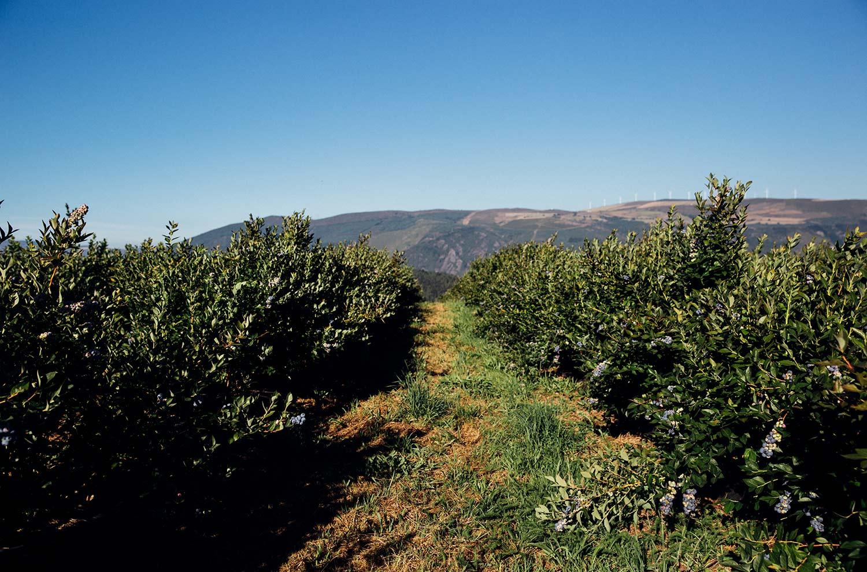 Blueberries, Grandas de Salime © Monica R Goya