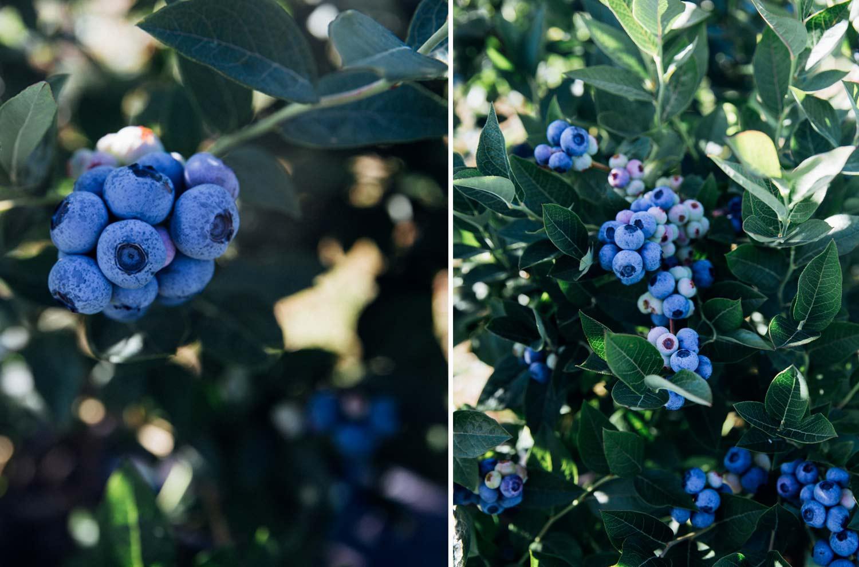Blueberries from Grandas de Salime