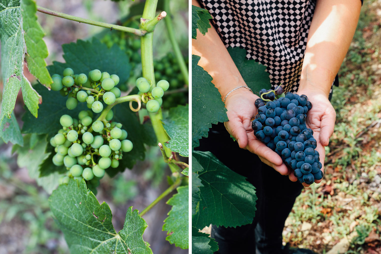 Cangas wine grapes ©Mónica R Goya