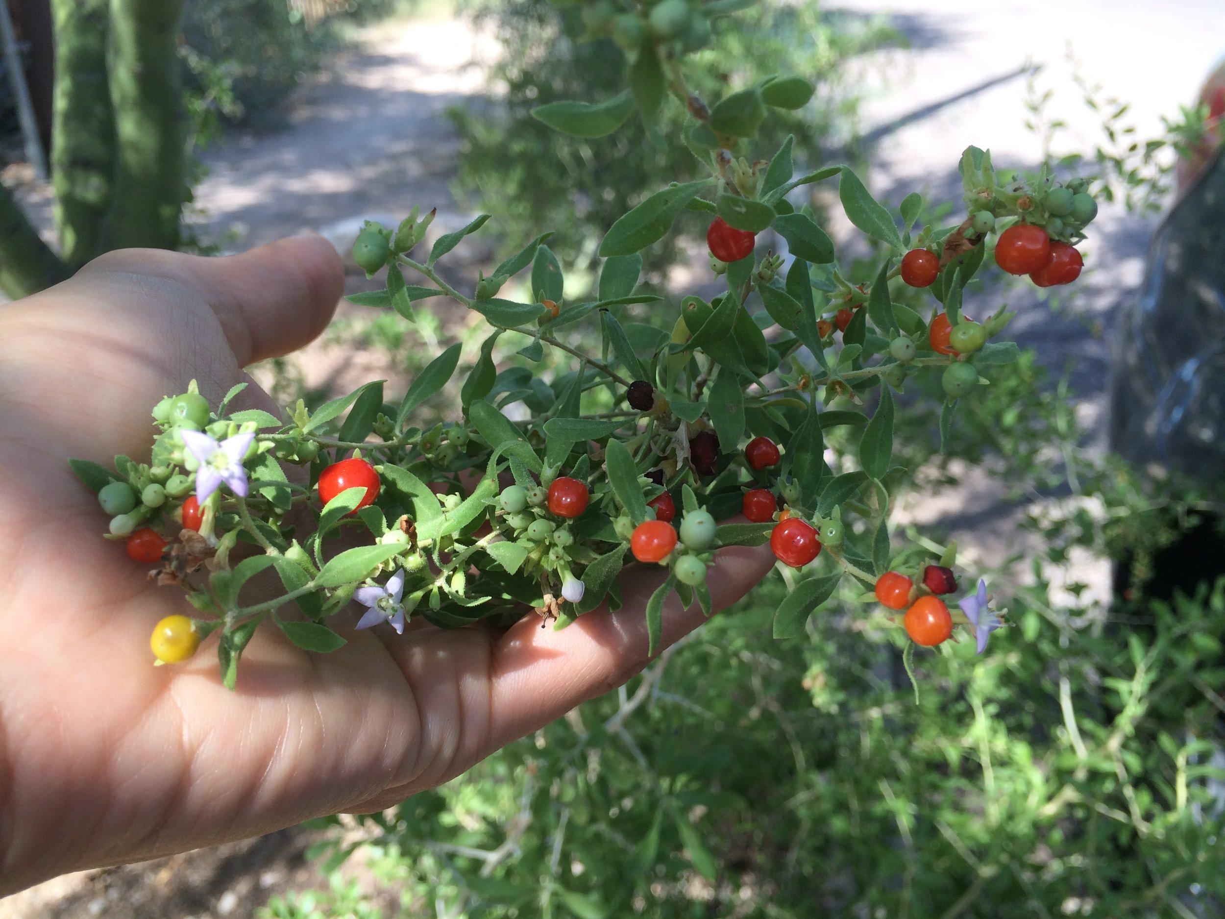 Wolfberry in Tucson, AZ