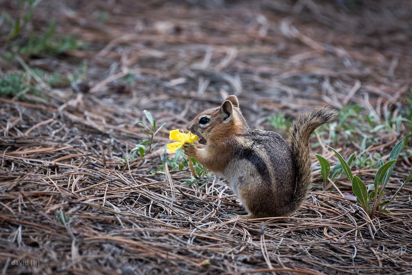 A chipmunk munching away at a yellow flower, right next to our campsite.