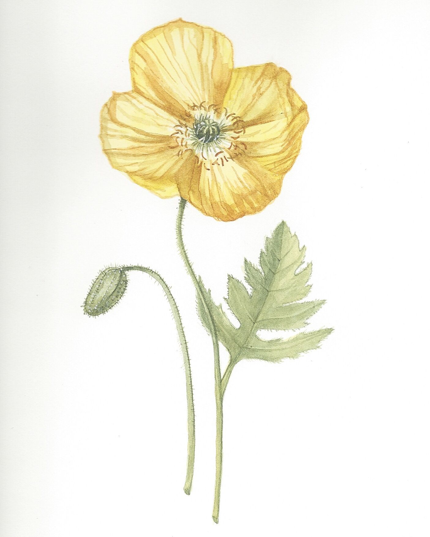Papaver nudicale, watercolour, June 2019