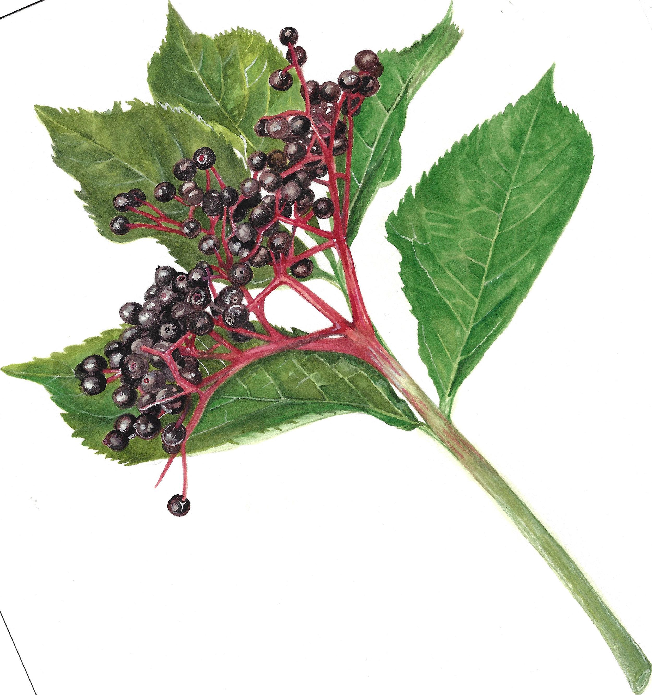 Sambucas nigra, watercolour