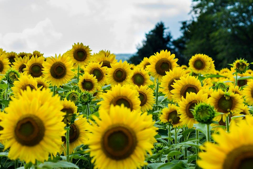 Sunflower Field in Pennsylvania, 2017