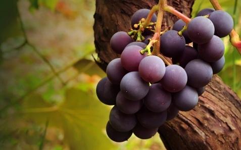 grape_vine-t2.jpg