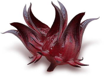 Sorrel is a ruby-red beverage brewed from the calyces of the roselle plant (Hibiscus sabdariffa) a species of hibiscus.