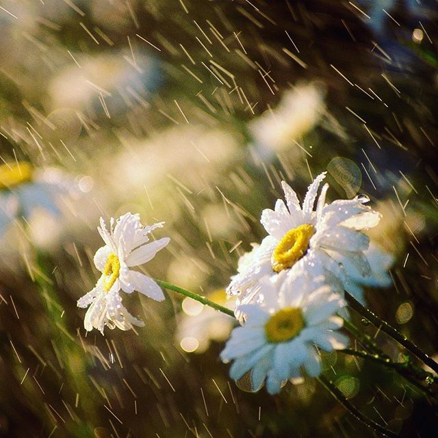 Without rain.. No flowers 🌸 Rain is symbolic for our growth, to wash away the old and bring in the new ...for when the sun shines through, lift your face to the light in full gratitude for its warmth and radiance 🌞 ... Blossom to your fullest potential 🌸 🌻 #mindfulmessages #letyourgardenthrive #gratitude #blossom #embracethemoment #loveblossoms . . Follow for Mindful Messages for the Soul🙌🏻@the_wellness_circle