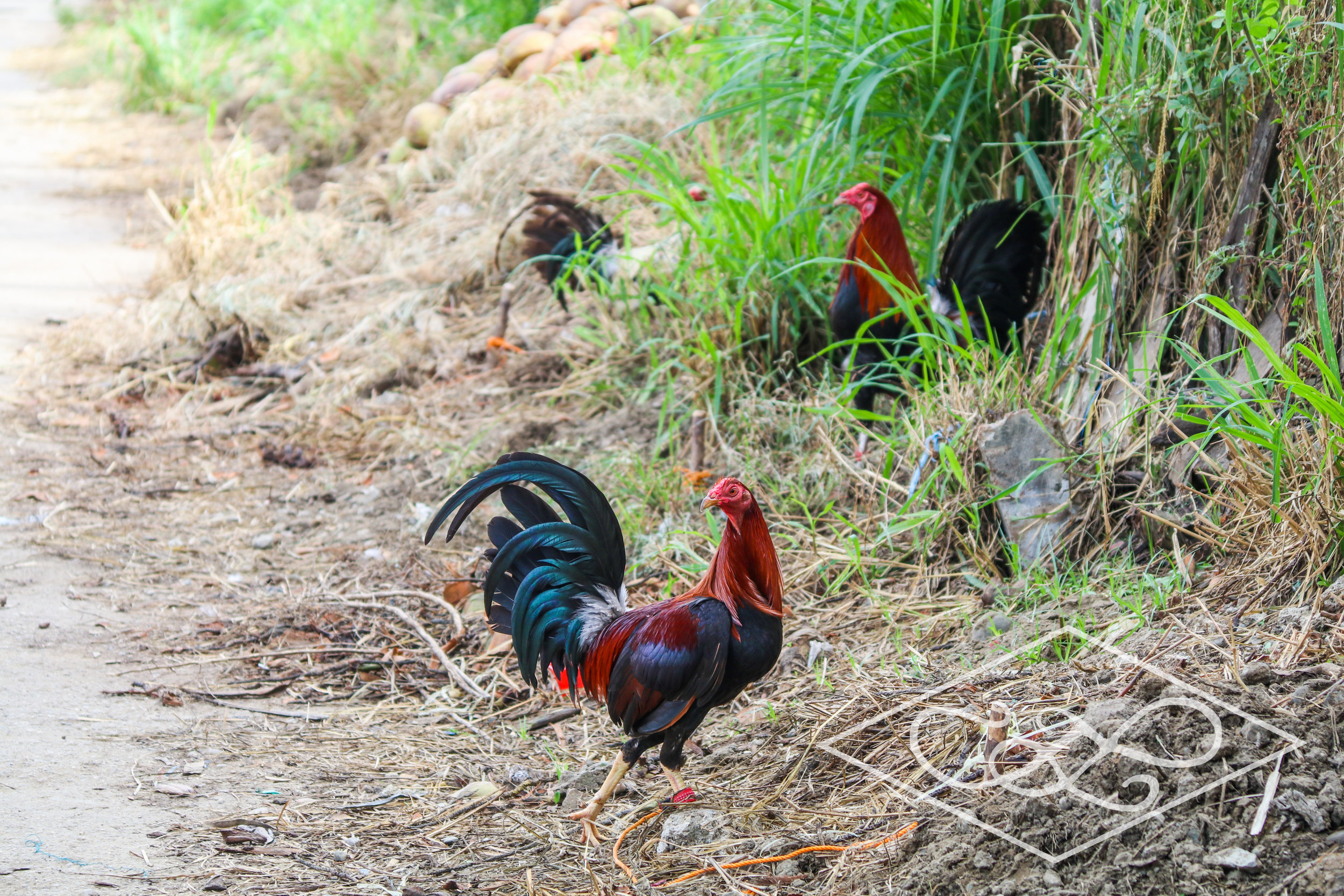 Rare sighting of a rooster walking freely
