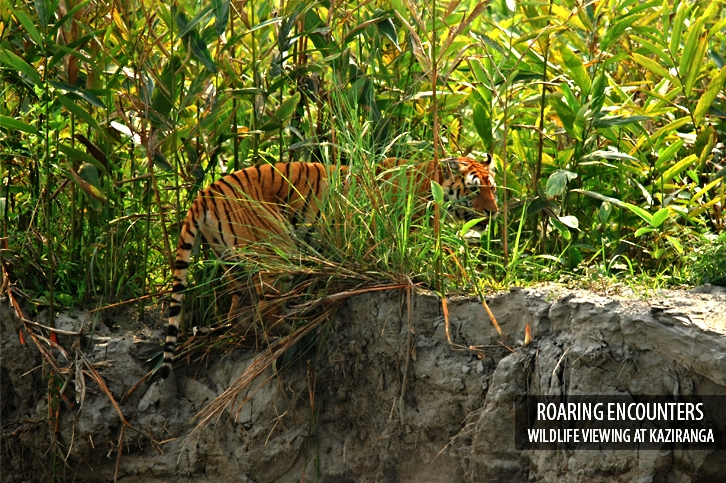 tiger in assam cruise.jpg
