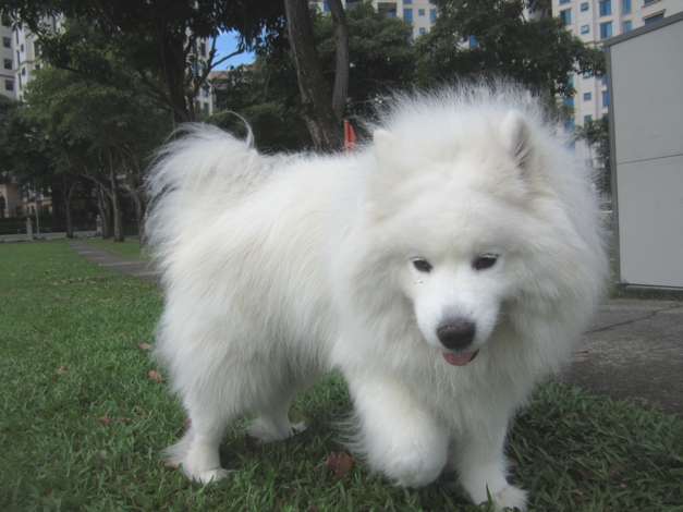 What a dog, but in this heat and humidity? Poor fluffy soul