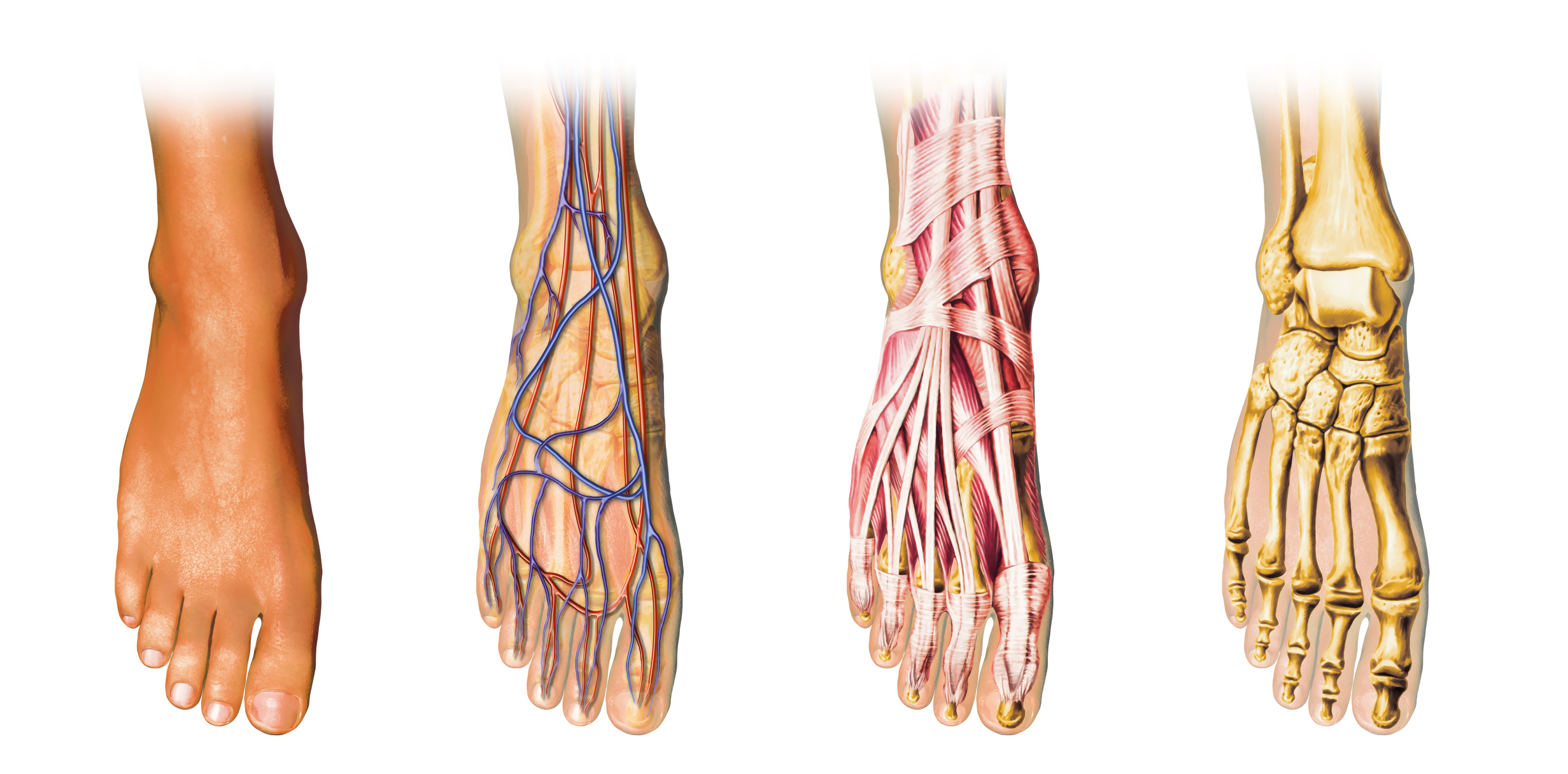 The Complex Foot Anatomy