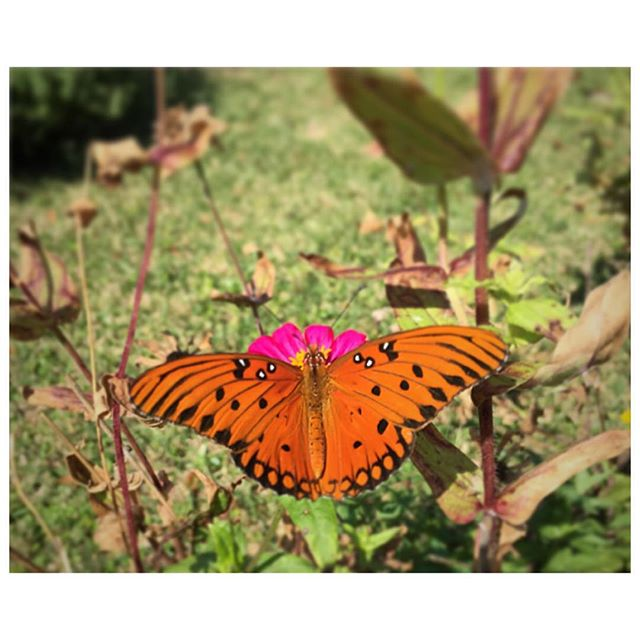 Sunday butterfly moment. Somewhere in South Carolina, outside Charleston. Mellowed by this pace of life, appreciating nature and the quiet moments.