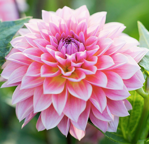 A Dahlia. For a jaw-dropping warm season, prepare your plants and soils for success in the Fall!
