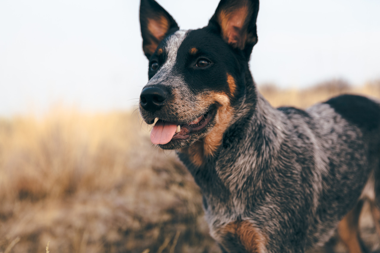 australian cattle dog via ileavitt