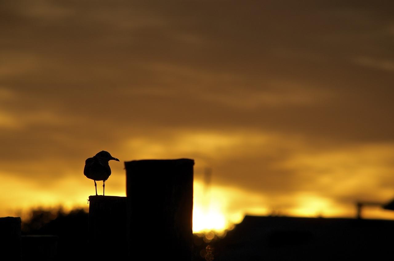 Silhouette Gull