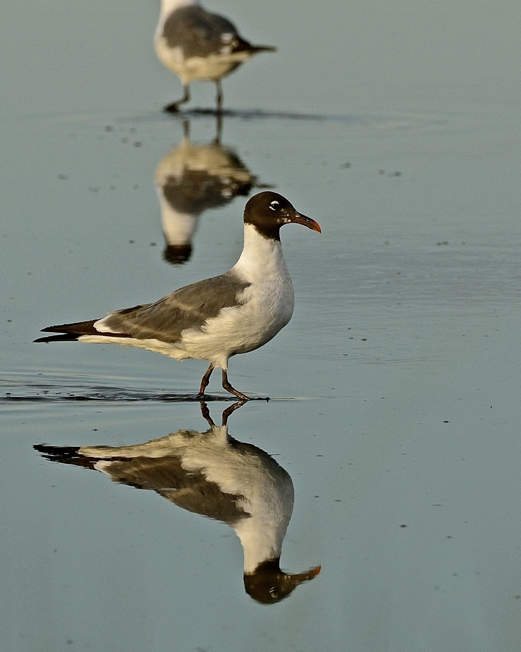 Laughing Gull Reflections