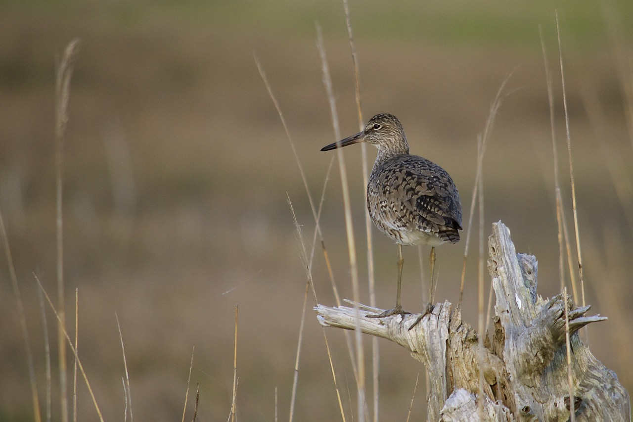 Willet of Gordon's Pond