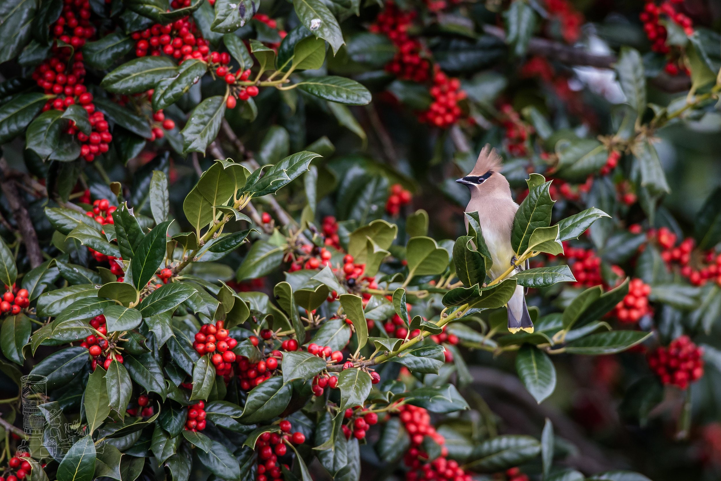 Cedar Waxwing in the Holly