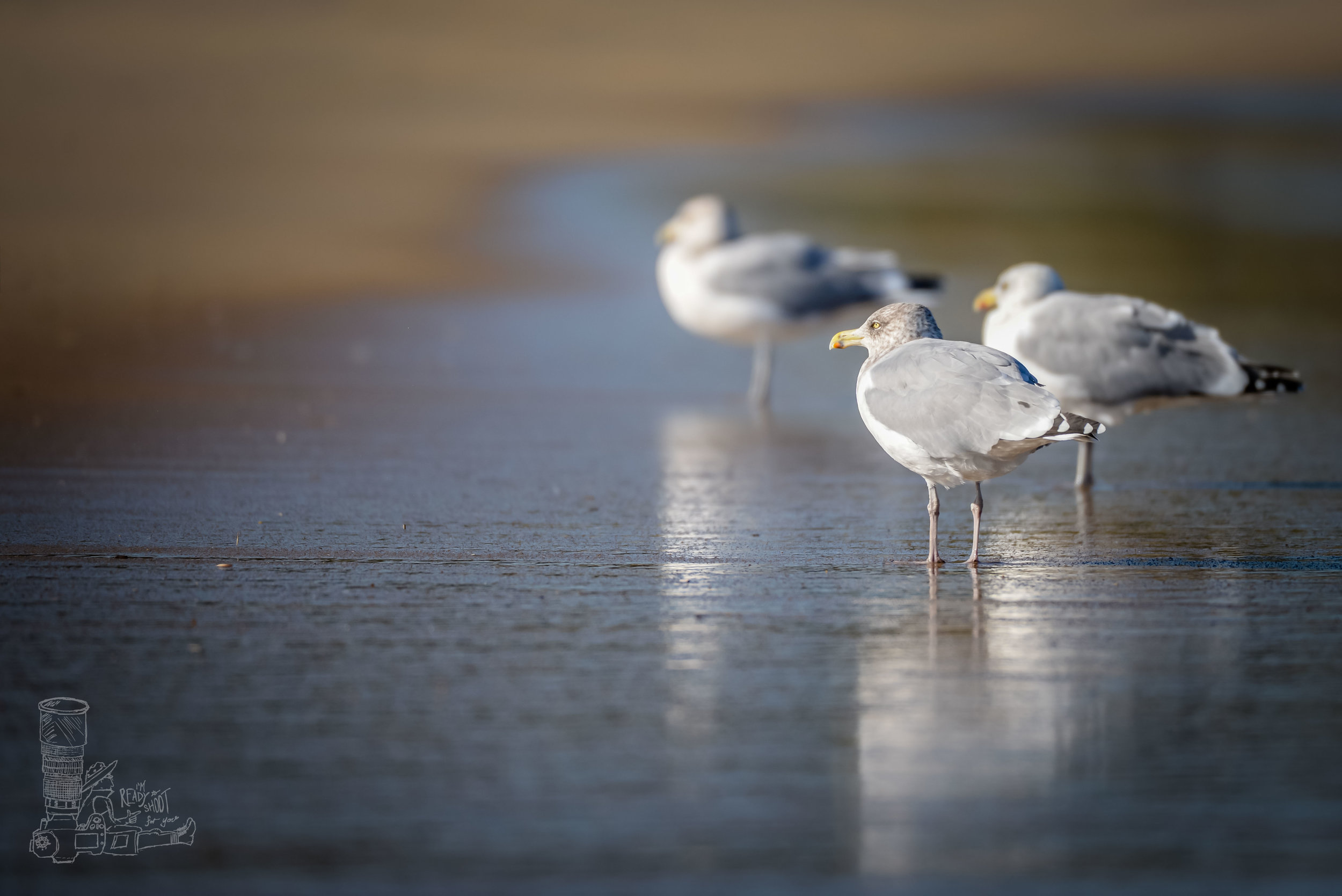 Gulls of Cape Henlopen