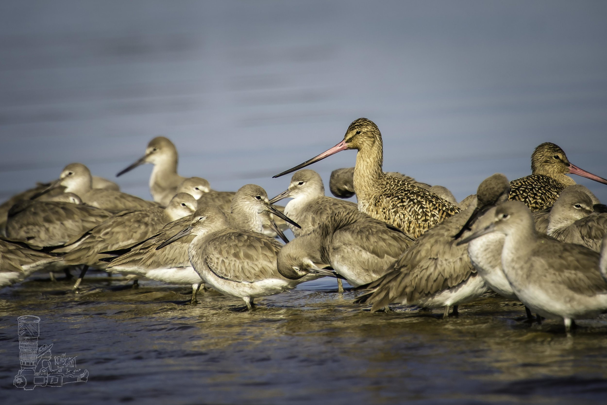 Godwit among the Willets
