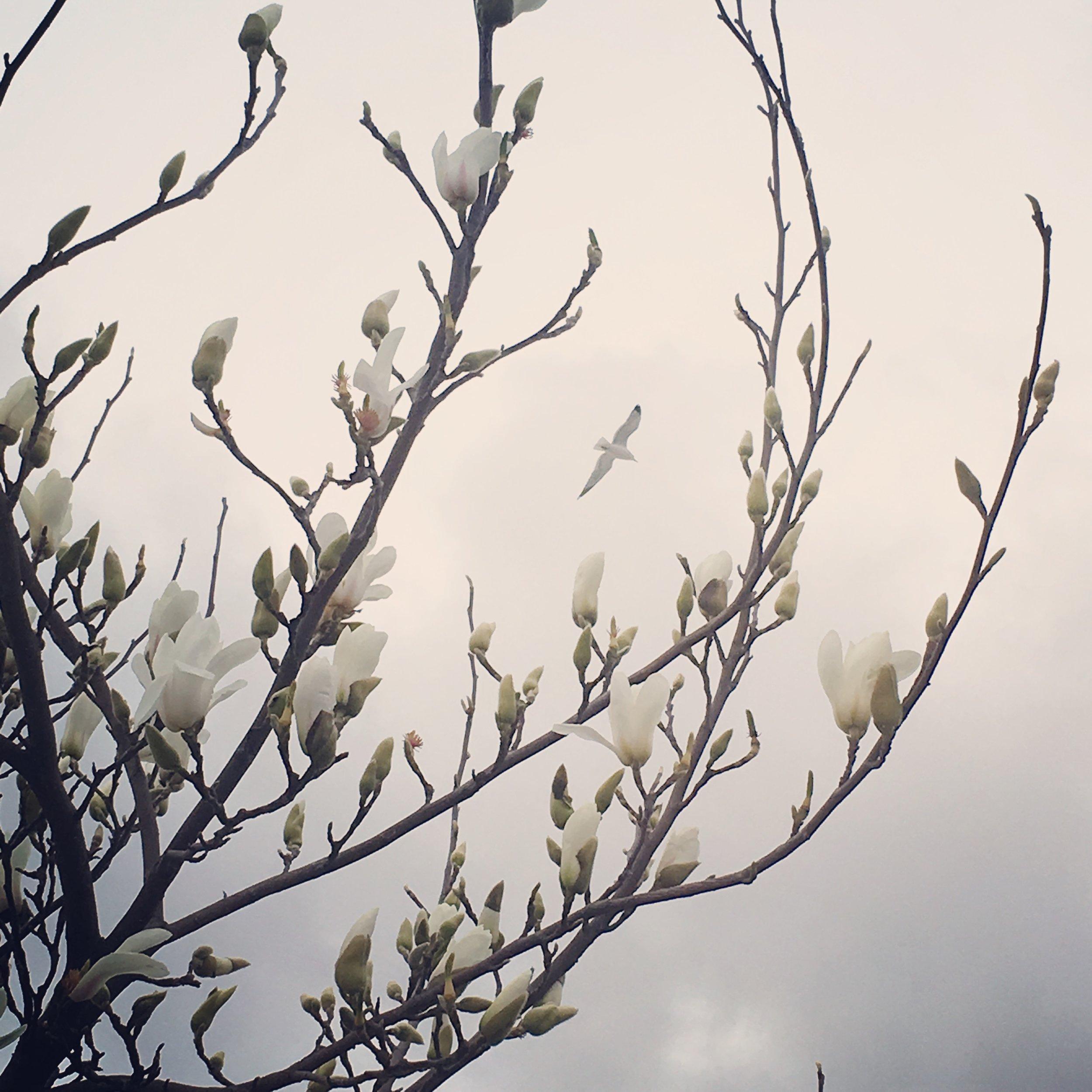 floweringtree.JPG