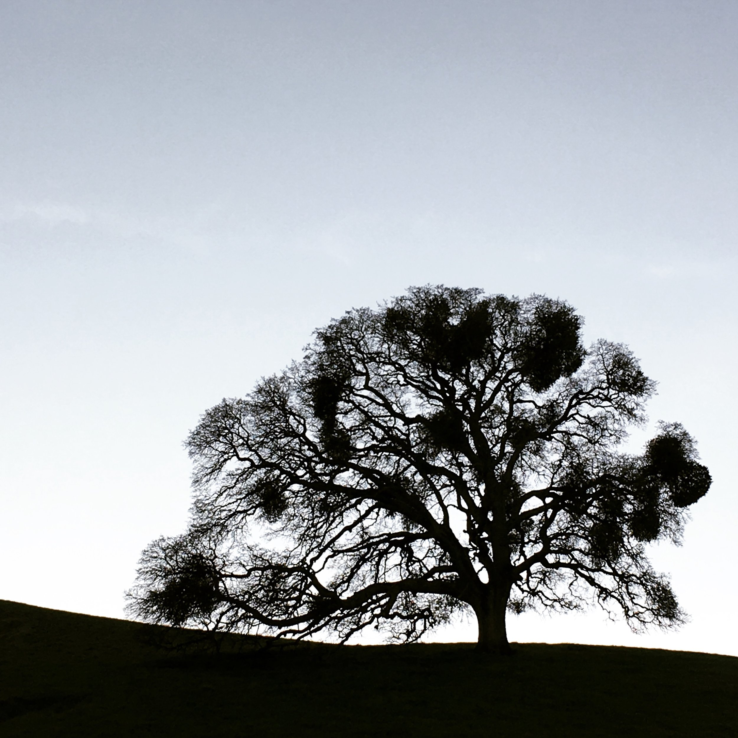 oaktree.JPG