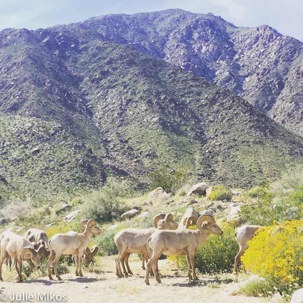 Big Horned Sheep Anza Borrego super bloom 2017
