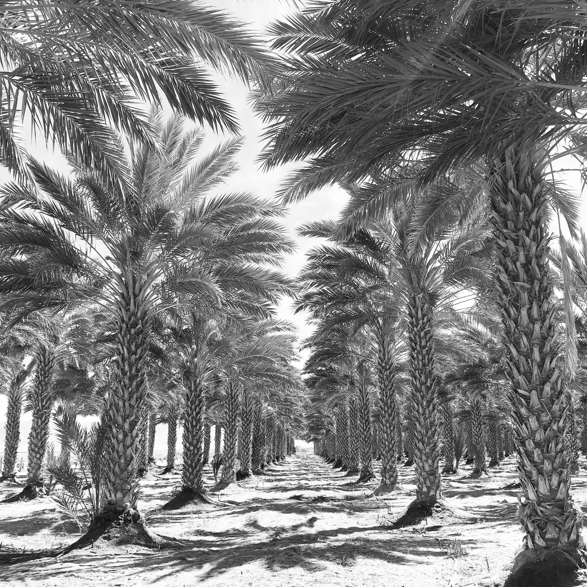 palm_tree_rows