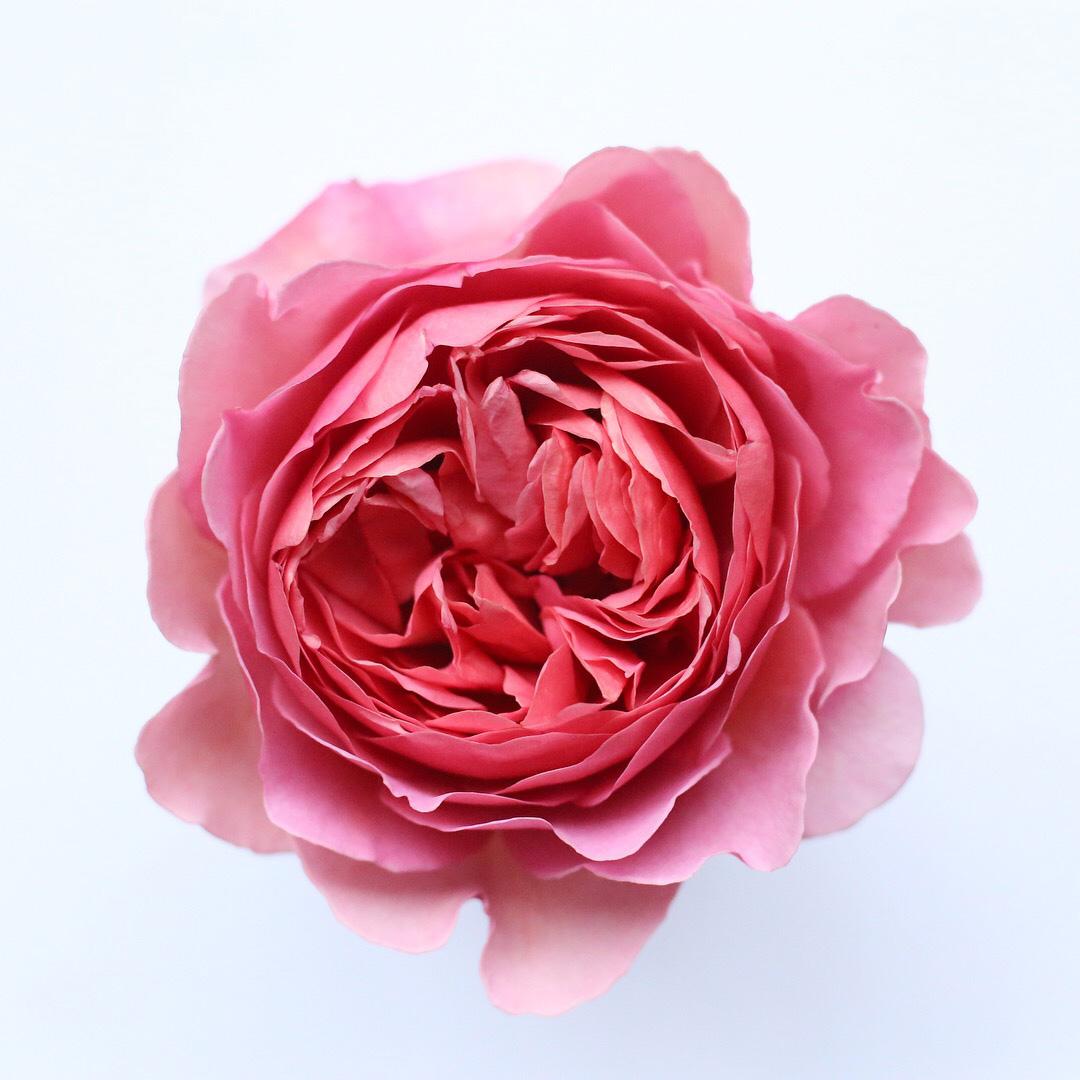 04Mar_Rose.jpg