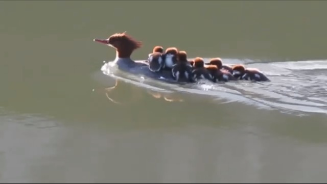A female merganser with her ducklings. I carry this photo in my phone and think about my parents hauling me and my sister around when we were young and keeping us safe.