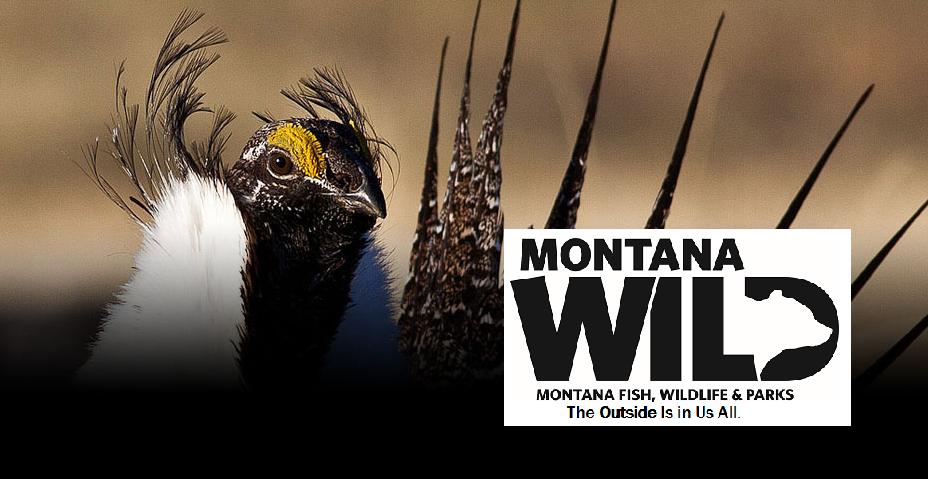 Montana FWP Sage Grouse IC Challenge