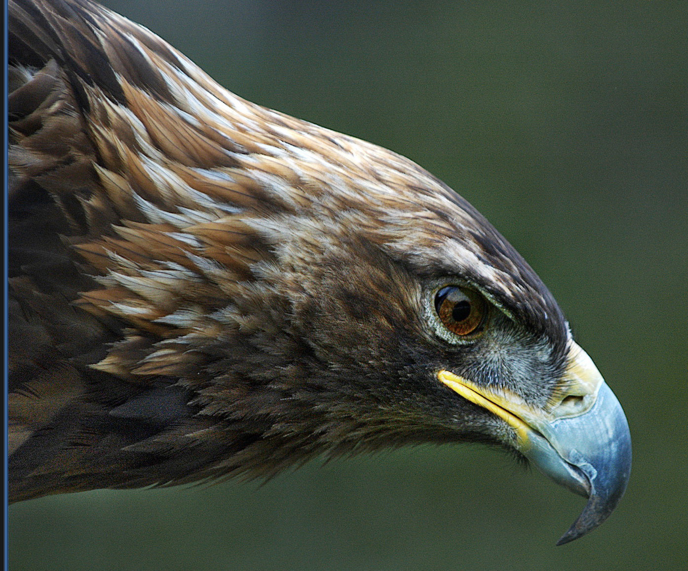 Helping Write the Story - Current research on golden eagles activityInterspecies collaboration activity