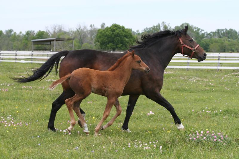 Arianna B., owned by Texas Hunter Breeding sponsor and enrollee Olde Oaks Farm, pictured with her foal.