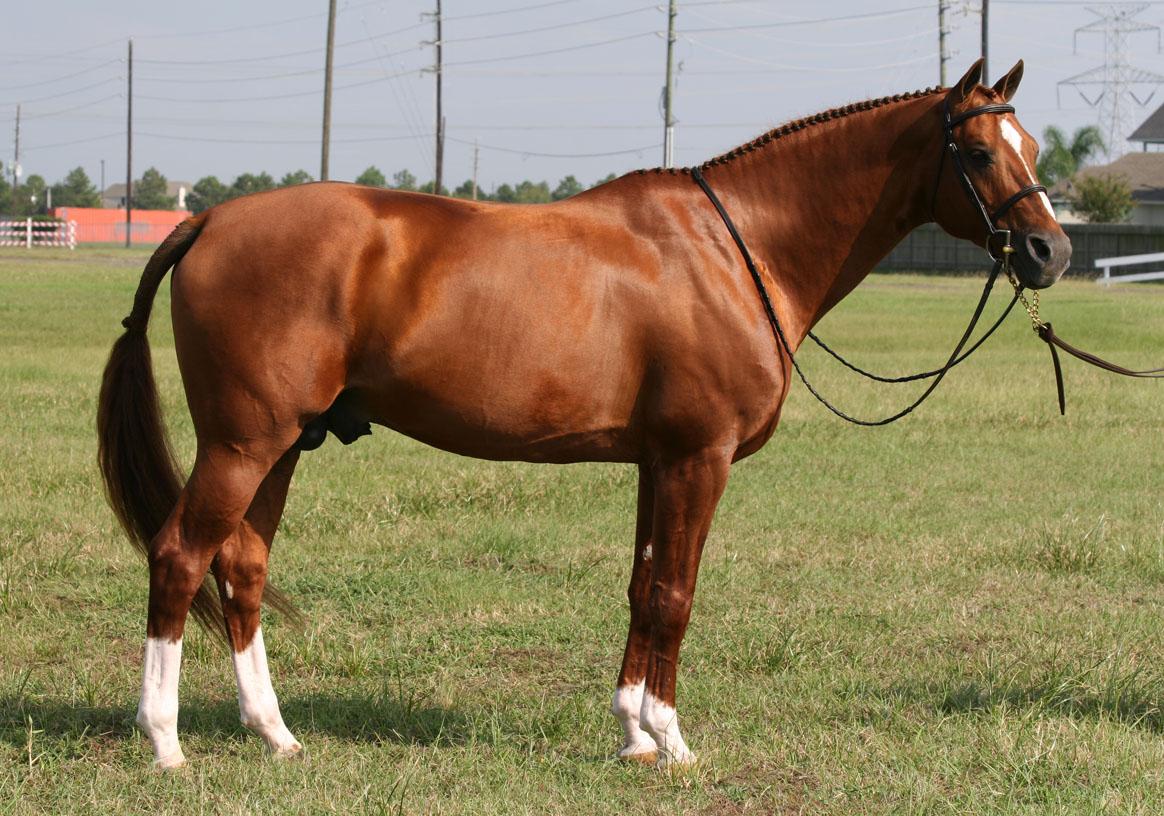 Shine, enrolled stallion owned by Texas Hunter Breeding sponsor and enrollee Olde Oaks Farm.