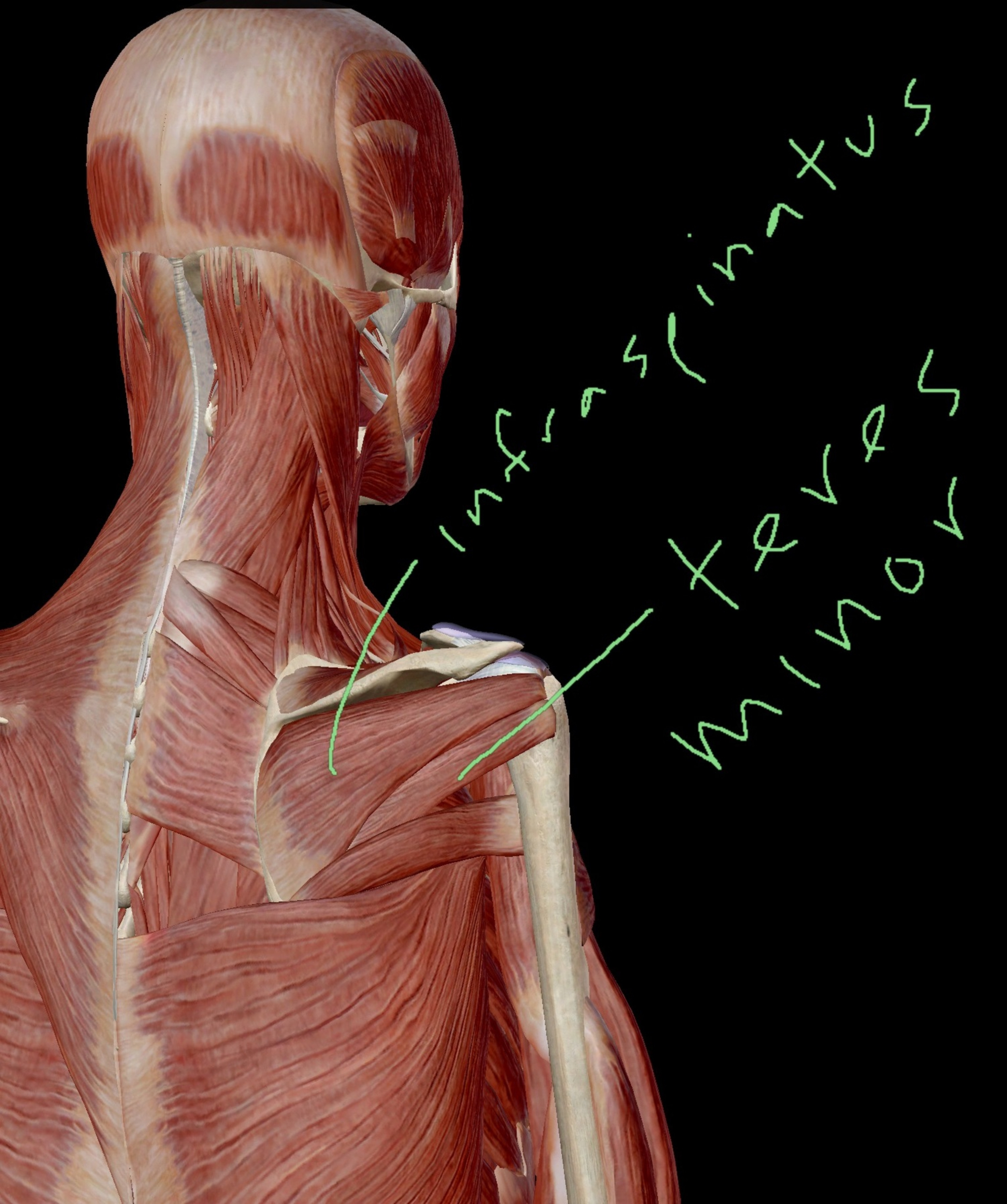 Infraspinatus and Teres Minor Posterior View