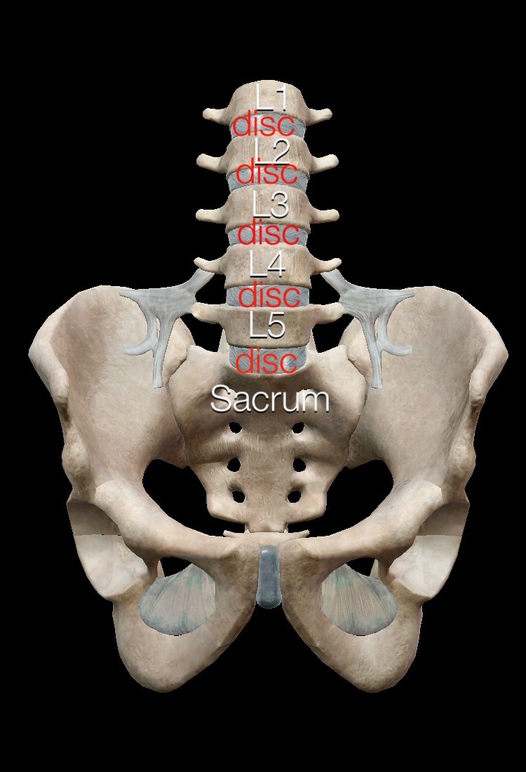 This is an image of the lumbar spine with its disks and sacrum and pelvis. Do you butt wink?
