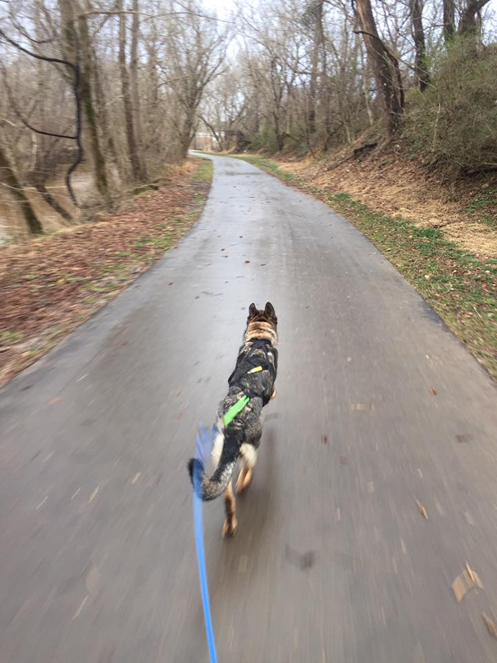 Urban Mushing with Karma on a greenway in Mount Airy NC