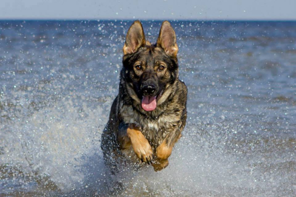 Karma playing in the surf while visiting family in FL
